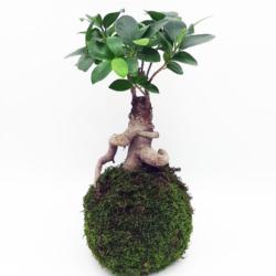 Kokesai di Ficus ginseng